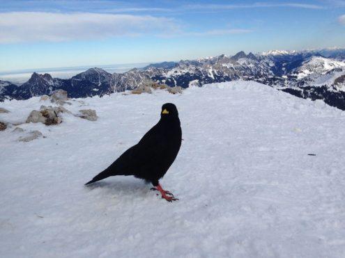 Skitour: eine Alpendohle auf dem Gipfel