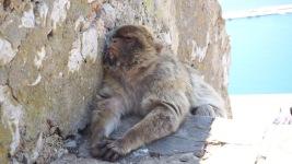 Schlafender Makake auf dem Felsen von Gibraltar
