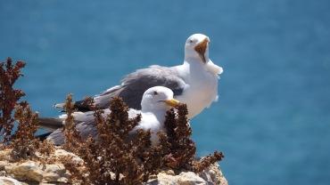 Möwen an der Küste Portugals