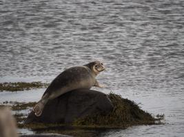 Kegelrobbe in den Westfjorden Islands