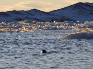 neugierige Robbe in der Gletscherlagune