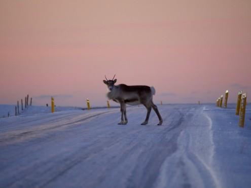 Ein verschrecktes Tier bleibt beobachtend auf der Ringstraße stehen