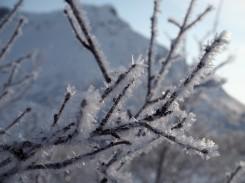 Frost auf den Ästen - Lofoten