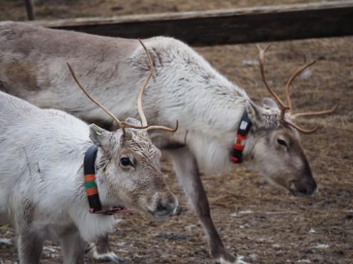 domestizierte Rentiere in finnisch Lappland