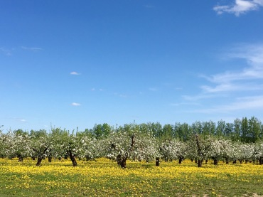 Apfelplantagen bei Belevskiy Rayon