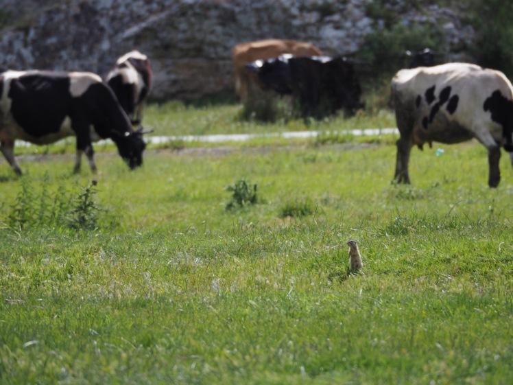 Ziesel auf Wiese mit Kühen