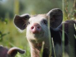 Halbdomestiziertes Schwein