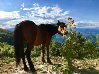 Freilaufende Pferde in Albanien