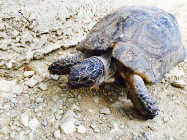 Schildkröte auf der Akropolis