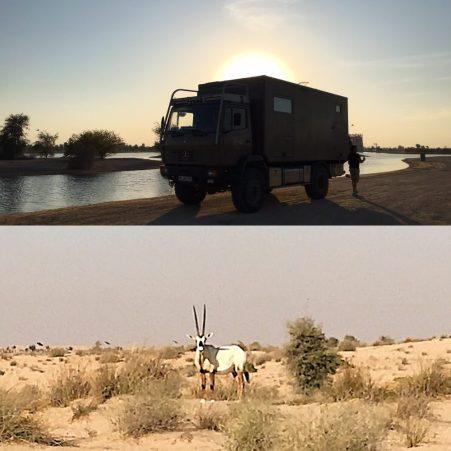 Al Qudra Lakes im Emirat Dubai - Arabischer Oryx