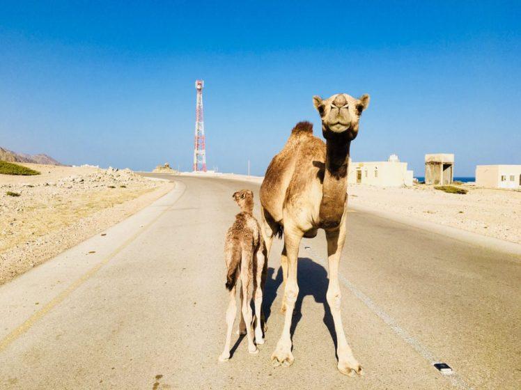 Dromedare auf der Straße im Oman