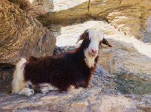 Tierische Begleiter am Jebel Shams