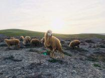 Schafherde in Gobustan