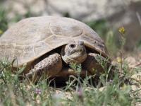 Schildkröte Kasachstan