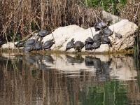 Sumpfschildkröten Kasachstan