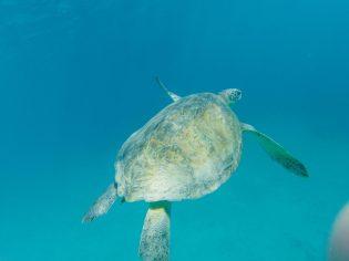 Meeresschildkröten bei Kizil Adasi