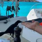 Ein Carib Grackle - Vogeldressur läuft.