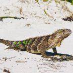 Tobago Cays, gesehen auf Jamesby Island: ein Grüner Leguan (Green Iguana)
