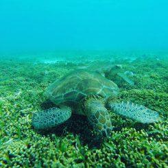 Gleich mehrere Meeresschildkröten auf einmal