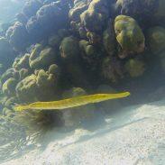 Wenige Unterwasserfotos sind etwas geworden, wie hier: Trompetenfisch
