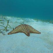 Einer von unzähligen Seesternen, die den Sandboden bei Frigate Island bedecken