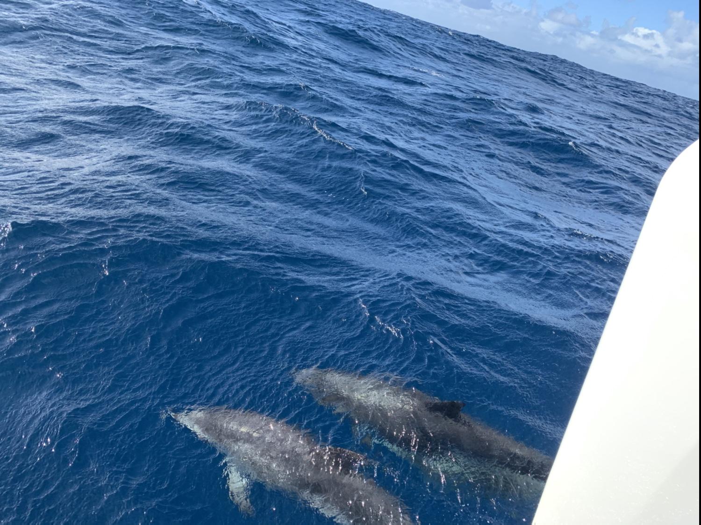 Delfine im Atlantik