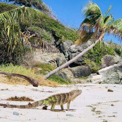Grüner Leguan, Jamesby Island. Beim Häufchen-machen erwischt; er sieht aber ganz zufrieden aus :)