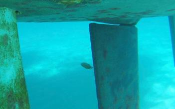 Bob, unser Hausfisch, ein Brauner Chromis, seit Bequia von Dez-März, schwamm immer auf dem Rücken