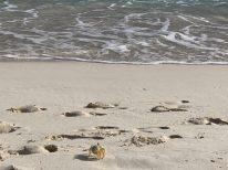 eine von vielen Krabben auf Sandy Island