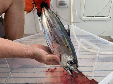 Ein kleiner Thunfisch hat angebissen