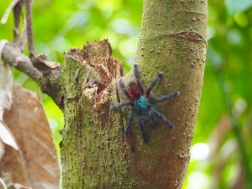 Martinique Baum-Vogelspinne