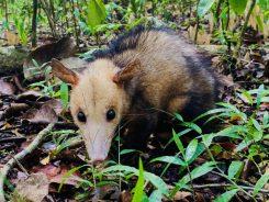 Opossum auf dem Weg zum Morne Larcher