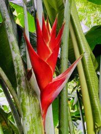 Heliconia bihai (aka Red Palulu oder Macawflower)