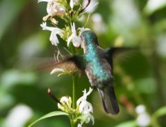 Zufällig entdeckt: ein weit entfernter Kolibri