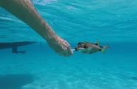 """Mein """"dressierter"""" Perlenkofferfisch: er frisst mir aus der Hand"""