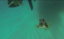 Einer von fünf unter unserem Boot: Perlenkofferfisch