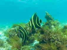 Franzosen-Kaiserfisch (jung)