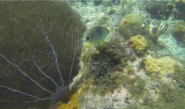 Vieraugen-Schmetterlingsfisch