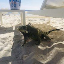 Grüner Leguan: sie sind einfach überall. Am Strand, auf den Straßen, in Restaurants. Manchmal muss man aufpassen, dass sie nicht das Essen vom Tisch klauen!
