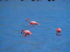 Flamingos in einer Salzlagune