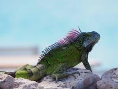 Grüner Leguan - die sind hier überall